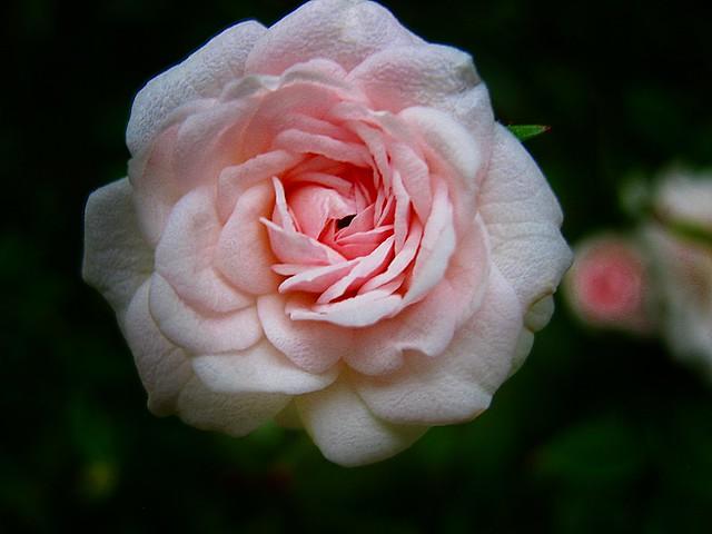Rosa miniatura: 2 cm. Happy quinta flower
