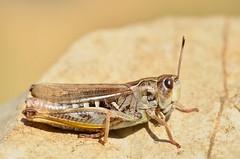 Gomphocerus sibiricus female