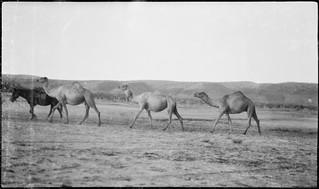 Three camels walking across plain, Wyndham, Western Australia, 9 April 1929.