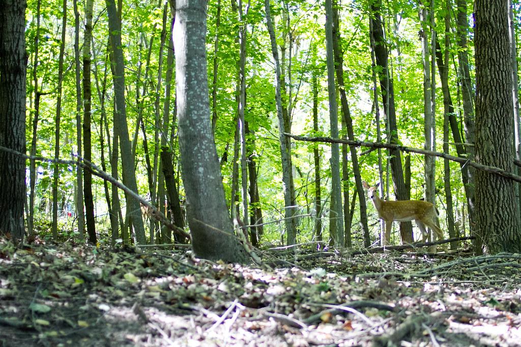 Deer in Frontenac State Park