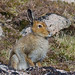 Mountain Hare (Bryan Rains)