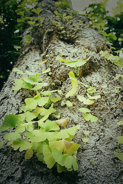 Gingko leaves at the Japanese Tea Garden