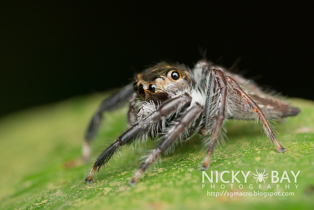 Jumping Spider (Salticidae) - DSC_4811