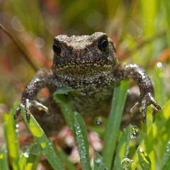 Crapaud commun (Bufo bufo) Common Toad