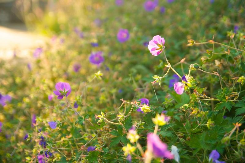 geranium rozanne  2165