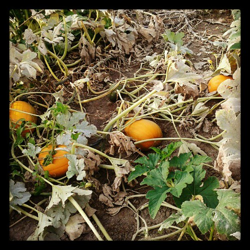 Pumpkin patch at the Park Forest Community Garden