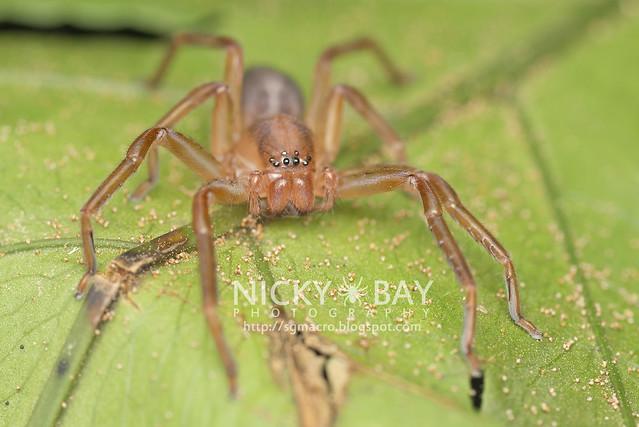 Huntsman Spider (Sparassidae) - DSC_2709