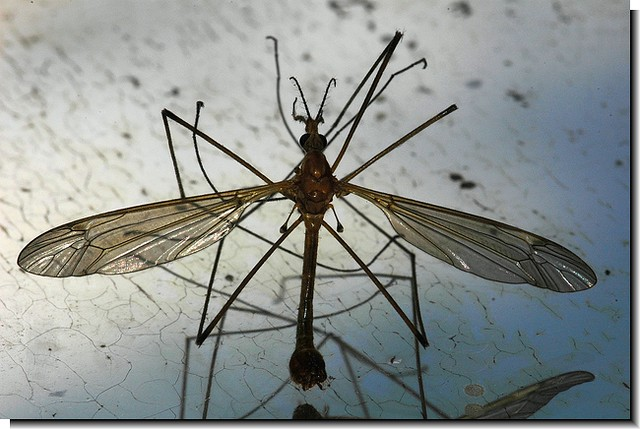 Mosquito eater flickr photo sharing