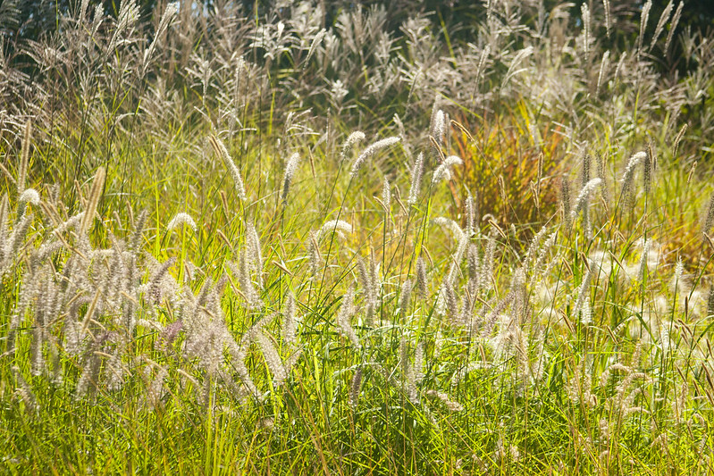 Retail Grasses