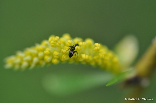The ant and willow flower