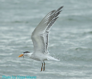 Royal Tern in flight after catching fish