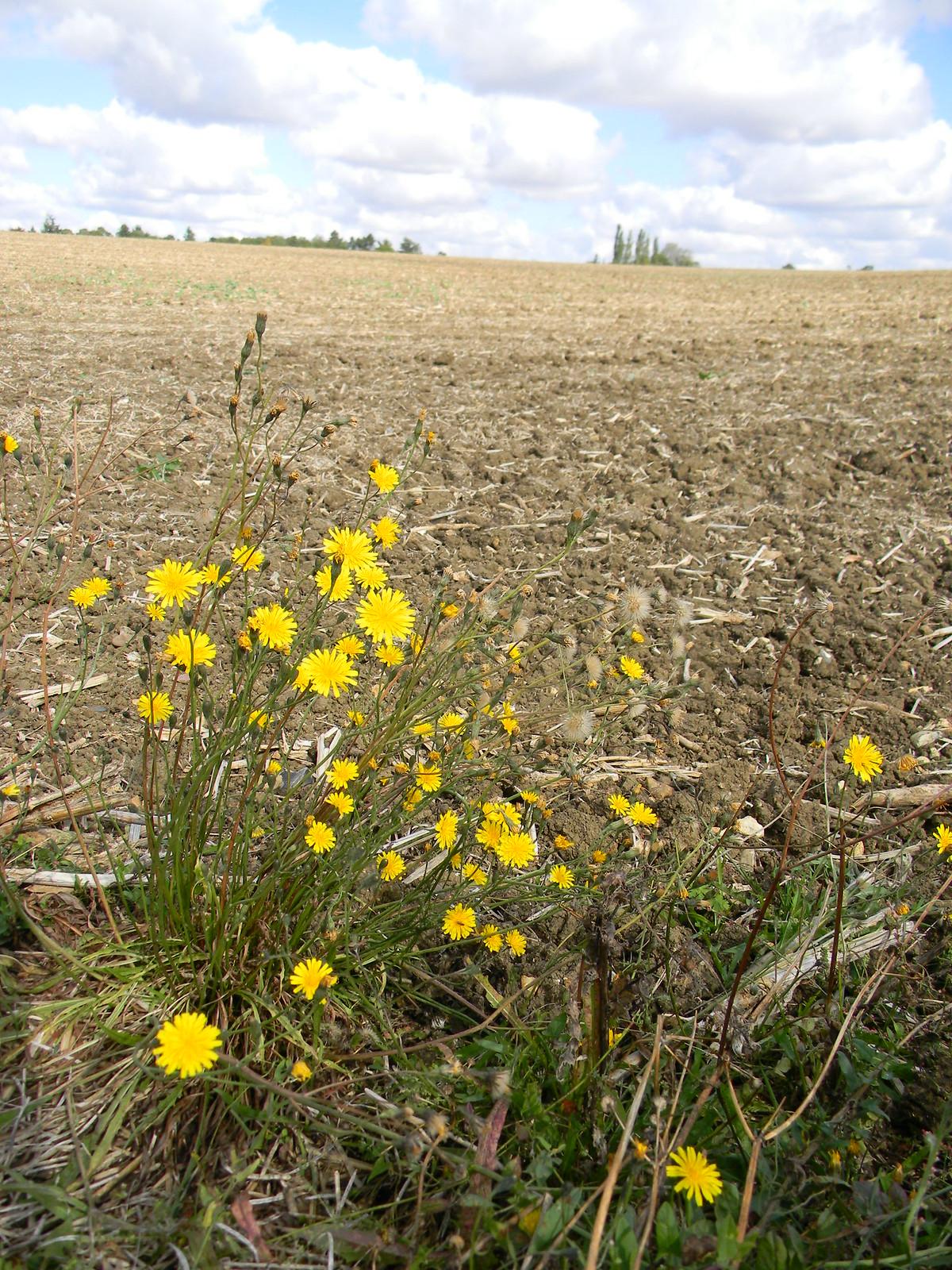 Not-dandelions and ploughed field Roydon to Sawbridgeworth