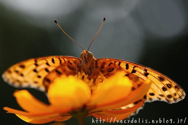 ツマグロヒョウモン [Argyreus hyperbius]...