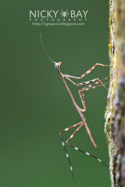 Praying Mantis (Mantodea) - DSC_7847