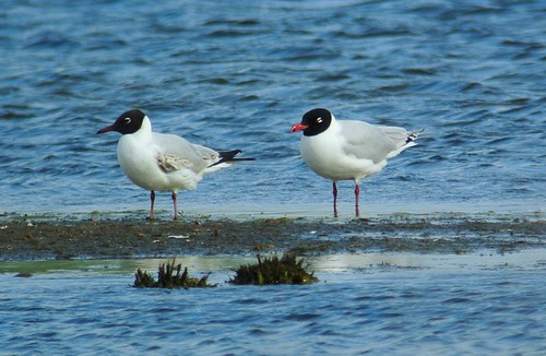 Med Gull at DWE