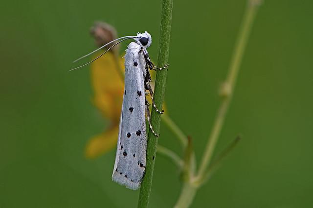 Myelois circumvoluta - the Thistle Ermine