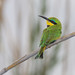Little Bee-eater by Yamil Saenz