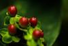 Berries - cruel winters heralds........