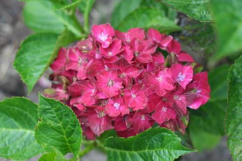 Pistachio Reblooming Hydrangea