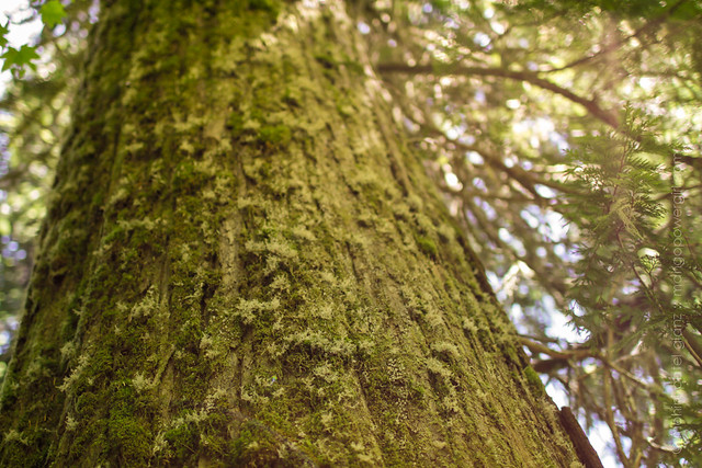 moss on old growth