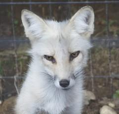arctic fox, animal, canis lupus tundrarum, mammal, fauna, kit fox,