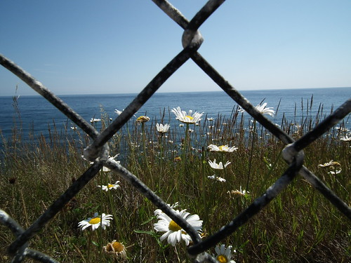 Daisies and the Sea (St. John's Newfoundland. 2012)