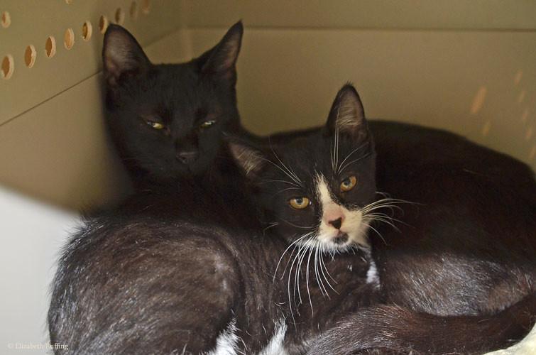 Black mama cat and tuxedo kitten, cuddling, by Elizabeth Ruffing