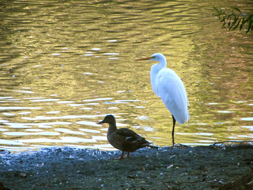 duck and egret