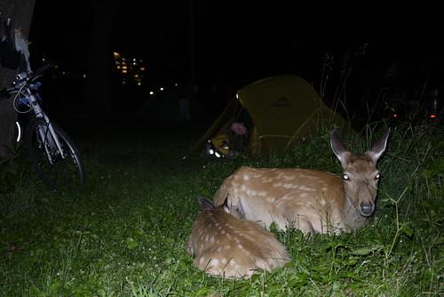 Wild Hokkaido deer in the Shiretoko Noeijo (Shiretoko Campground) in Utoro (Hokkaido, Japan)