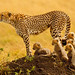 """The Matriarch"" - Cheetah with 5 cubs in the Masai Mara by Stephen Oachs (ApertureAcademy.com)"