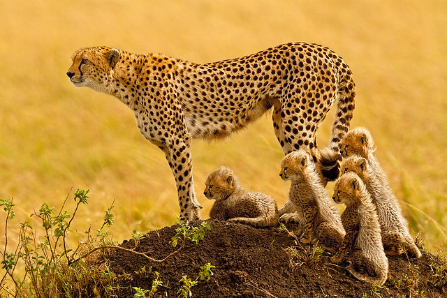 Cheetah with 5 cubs in the Masai Mara - The Cat Family Inspiring Photography