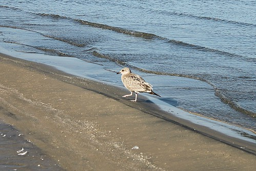 Female Ring-Billed Gull Near Edge Of Water At Wasaga Beach