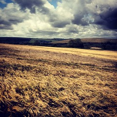 Fields of Gold, Sussex Downs
