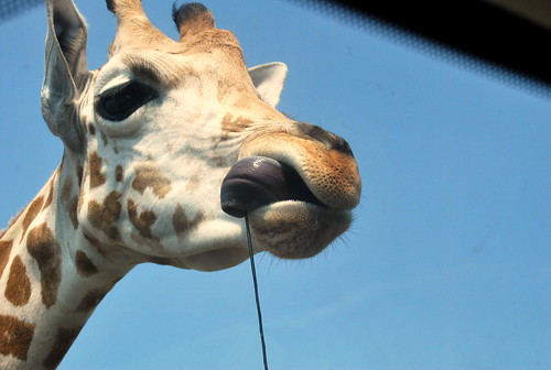 Safari - giraffe tongue