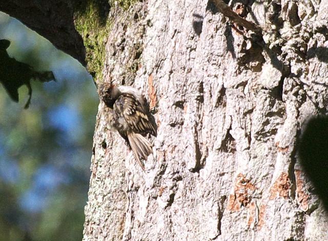 DSC_4440  Treecreeper