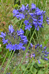 AGAPANTHUS 'Findlay's Blue'