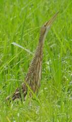 snipe(0.0), animal(1.0), prairie(1.0), grass(1.0), fauna(1.0), meadow(1.0), bittern(1.0), grassland(1.0), bird(1.0), wildlife(1.0),