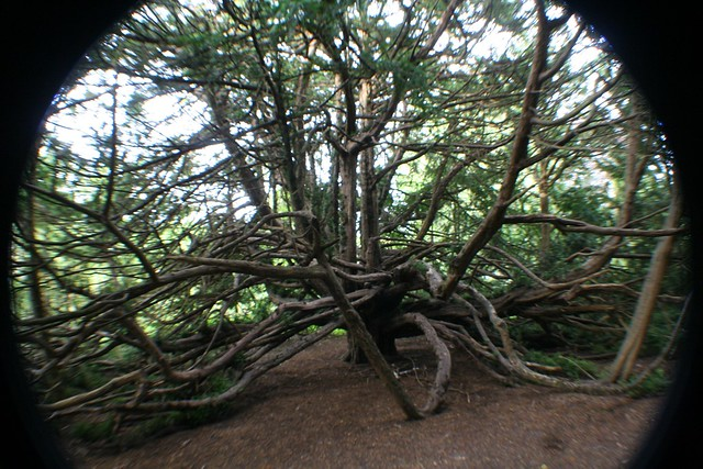 Cathedral Yew, Ormiston
