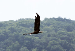 vulture(0.0), condor(0.0), animal(1.0), bird of prey(1.0), eagle(1.0), wing(1.0), fauna(1.0), bald eagle(1.0), bird(1.0), flight(1.0),