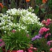 Storm agapanthus in containers