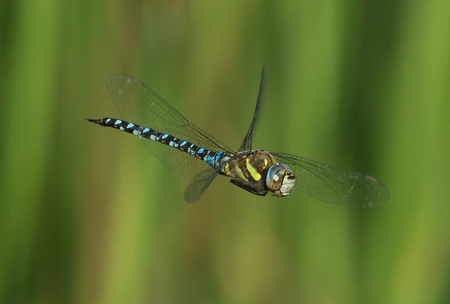migrant hawker Aeshna mixta in flight 4