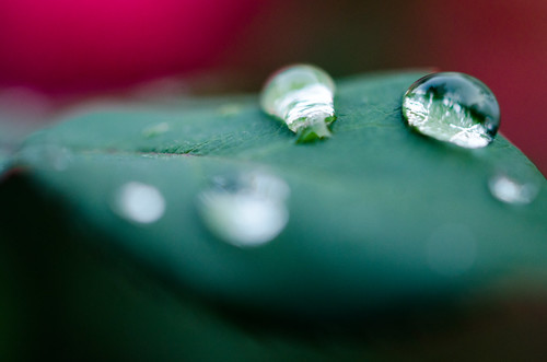 Water beaded on a rose leaf