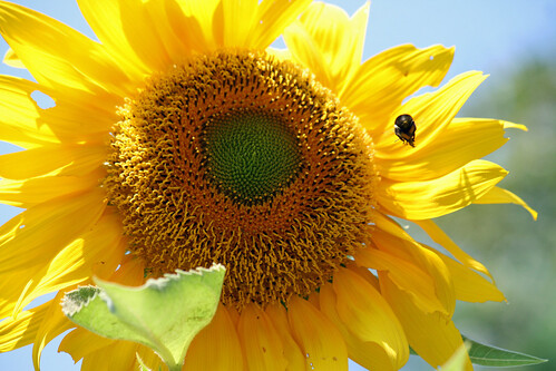 sunflower 063