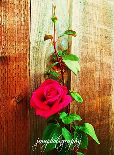 A ROSE AGAINST THE FENCE