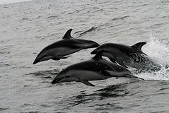 Dusky dolphins - Whale and dolphin watching with Nature Expeditions in Peru