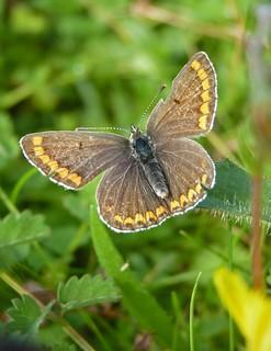 Brown Argus (plebeius agestis)