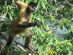 tufted capuchin(0.0), squirrel monkey(0.0), capuchin monkey(0.0), white-headed capuchin(0.0), macaque(0.0), animal(1.0), monkey(1.0), mammal(1.0), fauna(1.0), spider monkey(1.0), old world monkey(1.0), new world monkey(1.0), jungle(1.0), wildlife(1.0),