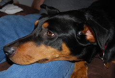 dog breed, animal, dog, german pinscher, manchester terrier, dobermann, pet, guard dog, miniature pinscher, pinscher, toy manchester terrier, austrian black and tan hound, polish hunting dog, carnivoran,
