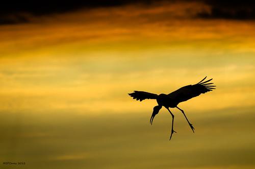 Storch fällt vom Himmel im Abendrot