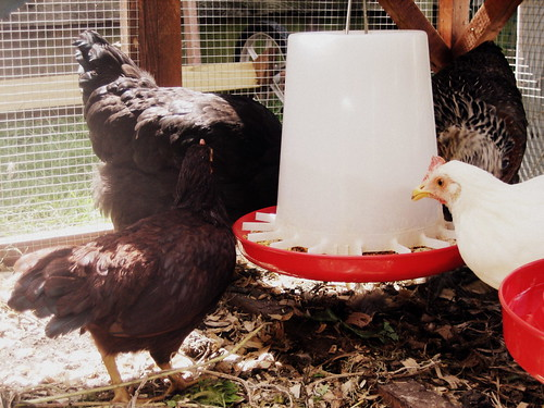 20120908. 4/5 of the chickens.